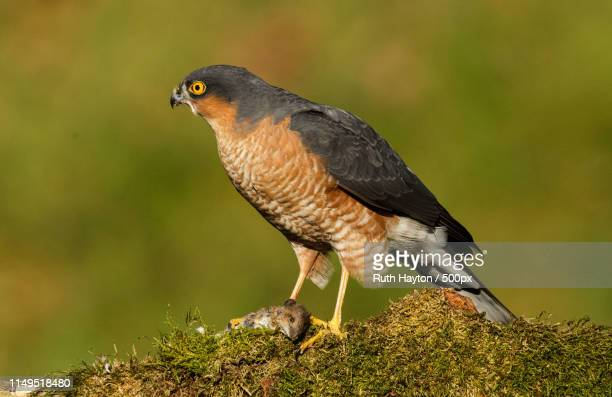 the sparrowhawk - sparrow hawk stock pictures, royalty-free photos & images