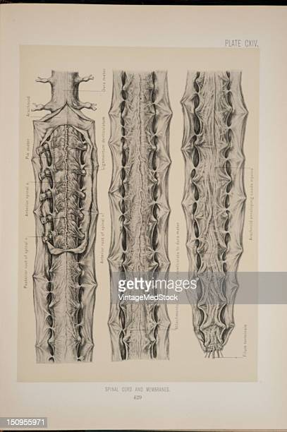 The spinal cord is a continuation of the medulla oblongata 1899 From 'The Treatise of the Human Anatomy and Its Applications to the Practice of...