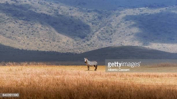 the spot. - ngorongoro conservation area stock pictures, royalty-free photos & images