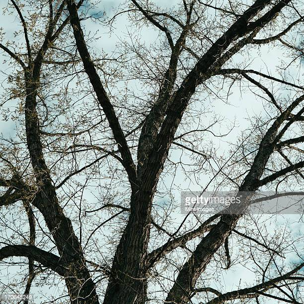 The spreading branches of a mature elm tree just as the leaves are breaking out of bud, viewed from below in Walla Walla, Oregon.