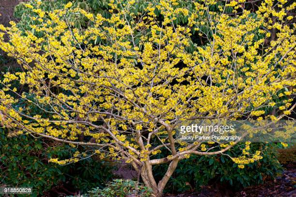 Witch Hazel Stock Pictures Royalty Free Photos Images Getty