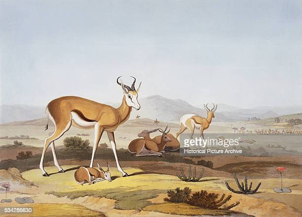 The Springbok or Leaping Antelope by Samuel Daniell