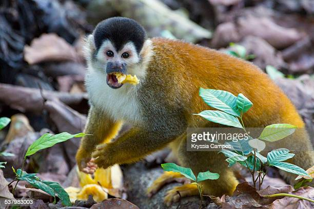 The squirrel monkey eating banana