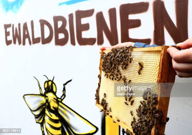 The St. Pauli Ewaldbees are pictured at Millerntor Stadium on June 23, 2017 in Hamburg, Germany. St. Pauli are keeping bees inside the clubs...