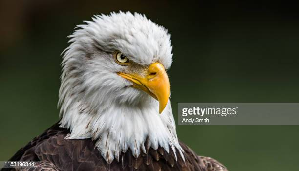 the stare of a bald eagle - eagle stock pictures, royalty-free photos & images