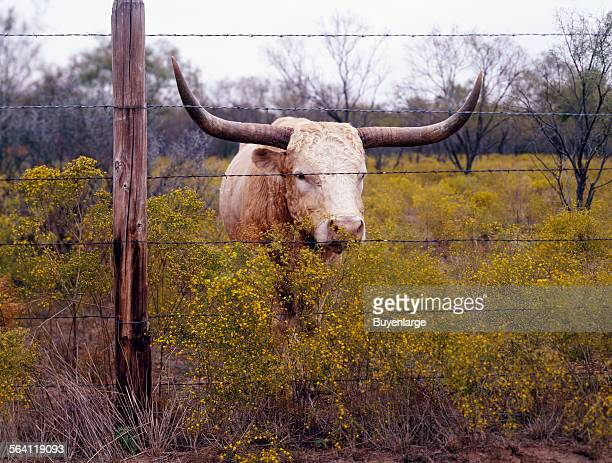 The State of Texas raises longhorn cattle at Abilene State Historical Park on the site of old Fort Griffin Abilene Texas