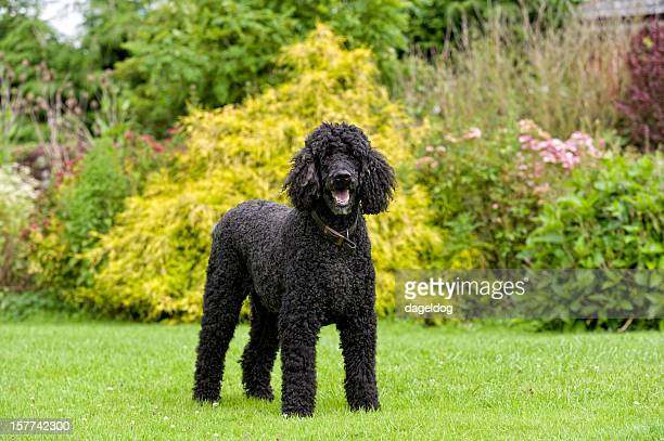 the stately house dog - standard poodle stock photos and pictures