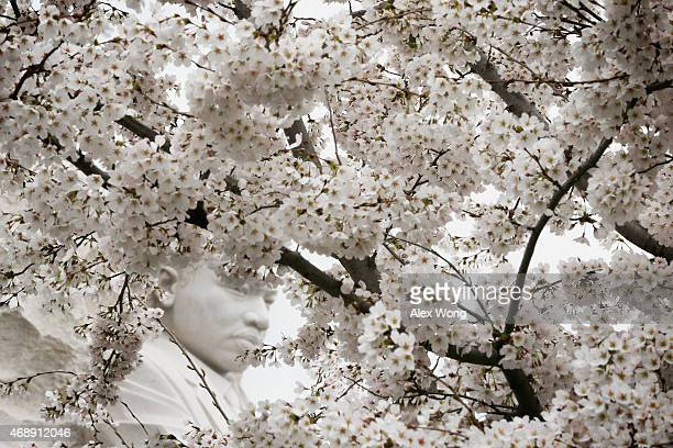 The statue of Martin Luther King Jr is seen through blooming Cherry Blossom trees at the Tidal Basin April 8 2015 in Washington DC The Cherry trees...