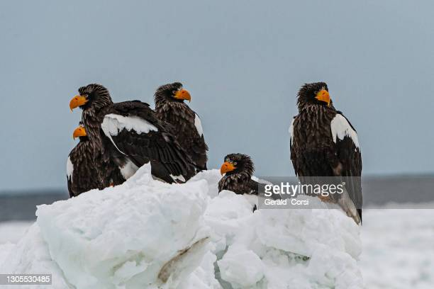 the steller's sea eagle, haliaeetus pelagicus, is a large bird of prey in the family accipitridae. this is, on average, the heaviest eagle in the world, as it averages about 6.8 to 9 kg (15 to 20 lb.  steller's sea-eagle is the biggest bird in the genus h - sea of okhotsk stock pictures, royalty-free photos & images