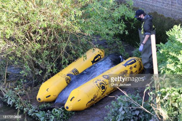 The stranded juvenile minke whale is seen on the bank of the river Thames on May 10, 2021 in Teddington, England. The whale was first seen on Sunday...