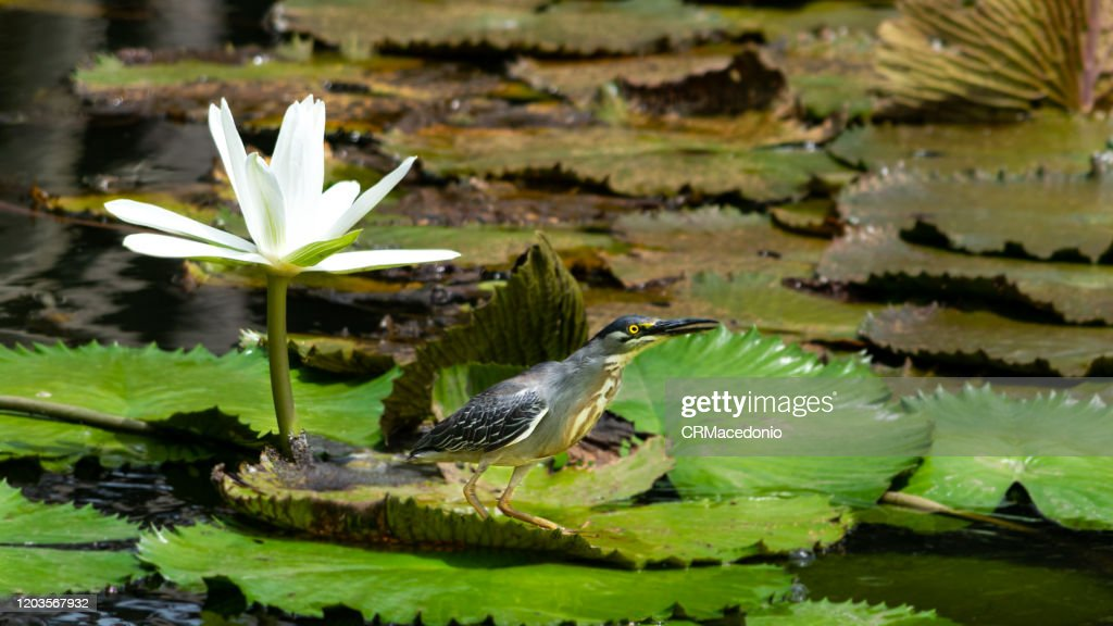 The striated heron is a bird that lives with water lilies, embellishing parks and gardens around the world. : Stock Photo