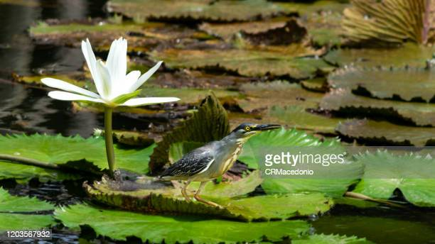 the striated heron is a bird that lives with water lilies, embellishing parks and gardens around the world. - crmacedonio - fotografias e filmes do acervo