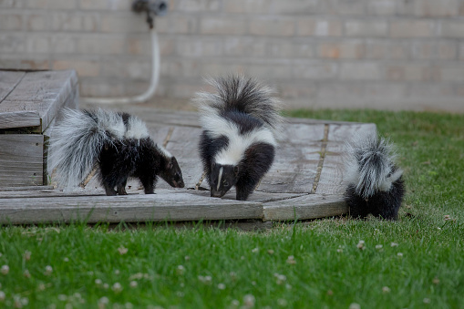 The striped skunk  (Mephitis mephitis)  near the human dwelling. 1163076608