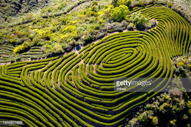the style of the hilltop tea plantation - fuzhou stock pictures, royalty-free photos & images