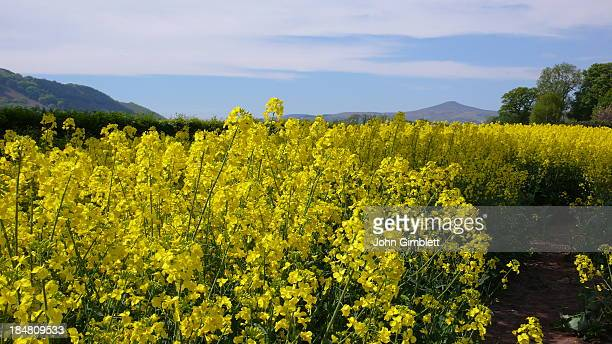 CONTENT] The Sugarloaf mountain in Abergavenny taken from a distance across a field of yellow rapeseed plants