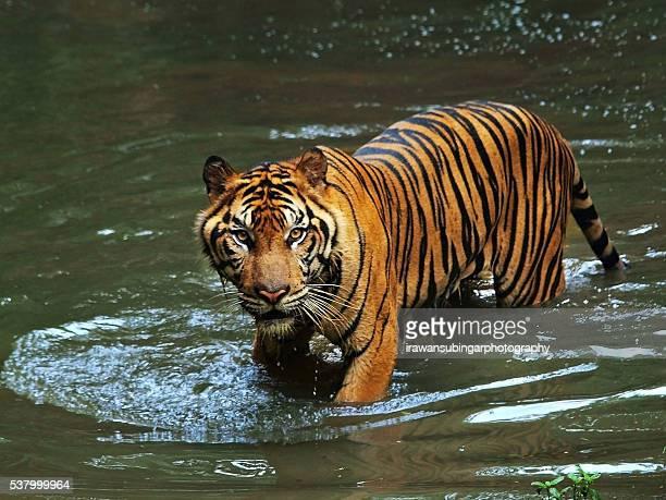 The Sumateran tigers as hunters hunted.