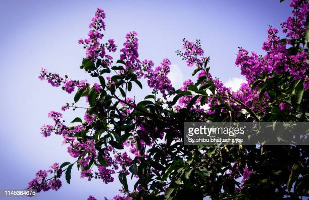 the summer nature blossoms wild purple  queen's crape - bangladeshi flowers stock pictures, royalty-free photos & images