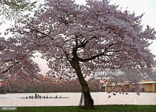 The sun begins to rise as college Crew boat passes by a cherry blossom tree on the bank of the Potomac River April 10 2014 in Washington DC Peak...