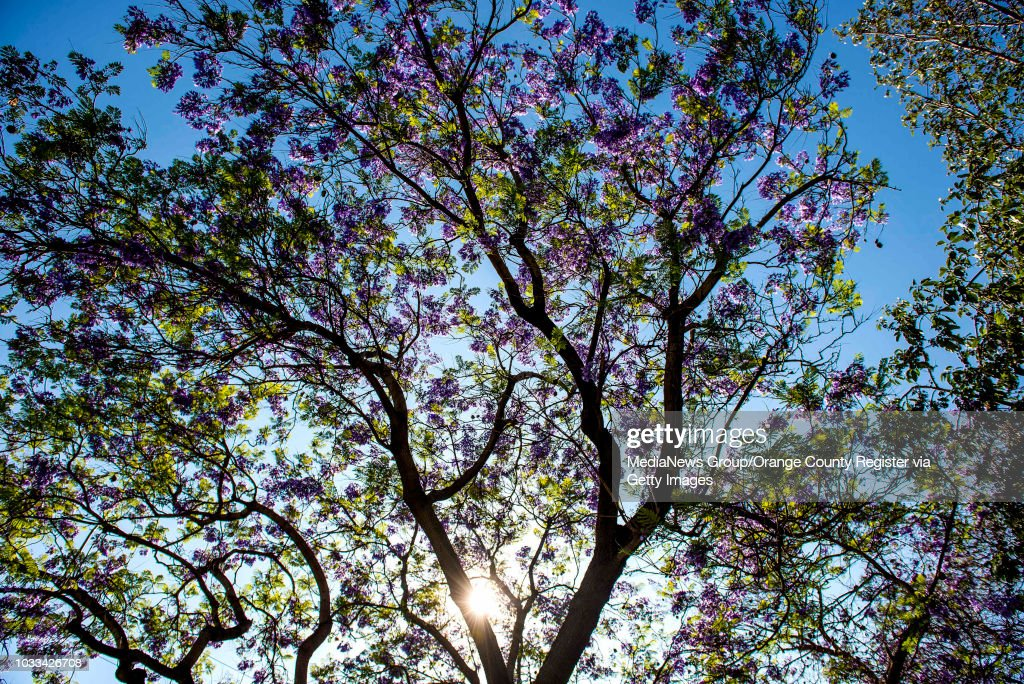 The Sun Filters Down Through A Jacaranda Tree At Colonel William W