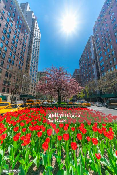 the sun illuminates the red blooming tulips and cherry blossoms tree in the safe zone of park avenue at uptown manhattan new york usa on may. 01 2018. - パークアベニュー ストックフォトと画像