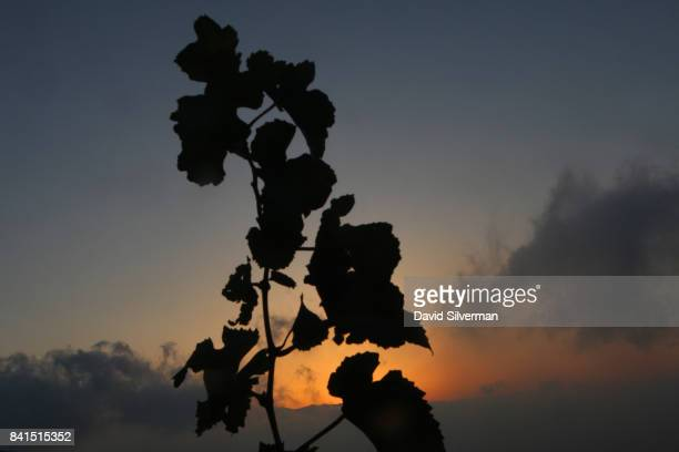 The sun rises across the valley as Pinot Gris grapes are harvested for Dalton Winery on August 10 2017 at Misgav in the Upper Galilee in northern...