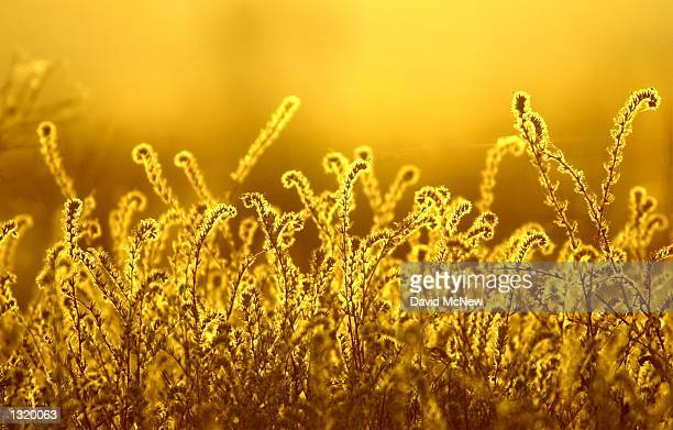The sun rises behind native fiddlenecks on the Elkhorn Plain at the Carrizo Plain National Monument June 1 2001 Although the grasslands were greatly...