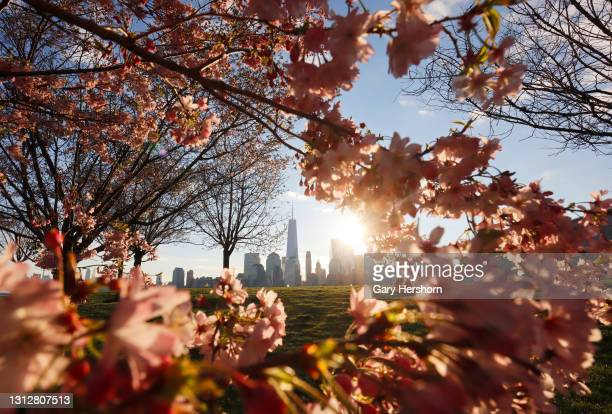 The sun rises behind the the skyline of lower Manhattan in New York City as blossoms bloom on trees in Liberty State Park on April 16, 2021 in Jersey...