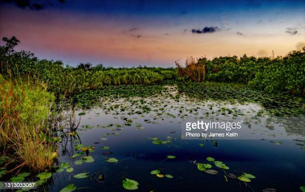 the sun rises over a hyacinth covered pond in a southern wetland. - anhinga_trail stock-fotos und bilder