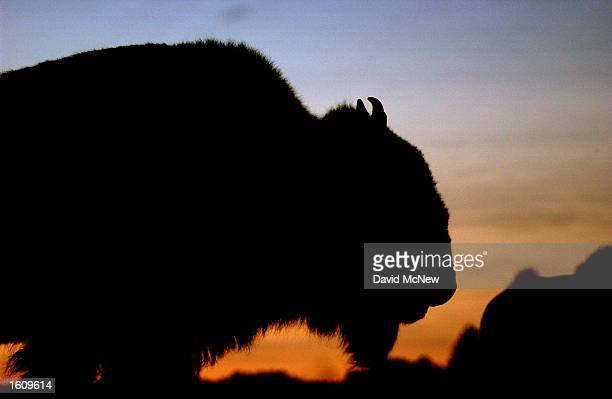 The sun sets behind a bison in Wind Cave National Park August 14 2001 in the southern Black Hills of South Dakota Millions of bison were slaughtered...