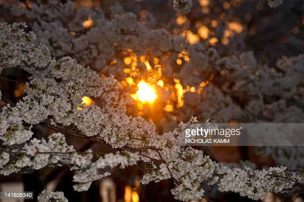 The sun sets behind cherry blossoms which have come into full bloom due to the early warm weather along the East coast of the US in Washington on...