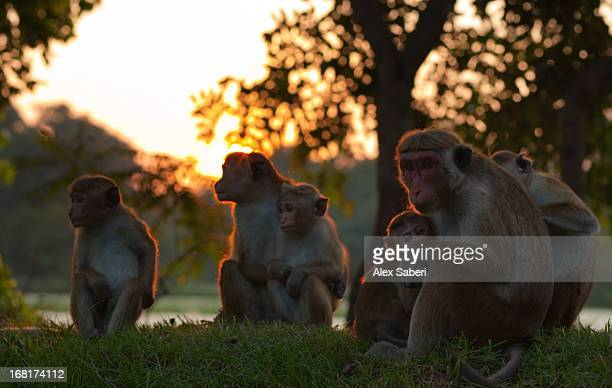 the sun setting over a family of toque macaques. - alex saberi stock pictures, royalty-free photos & images