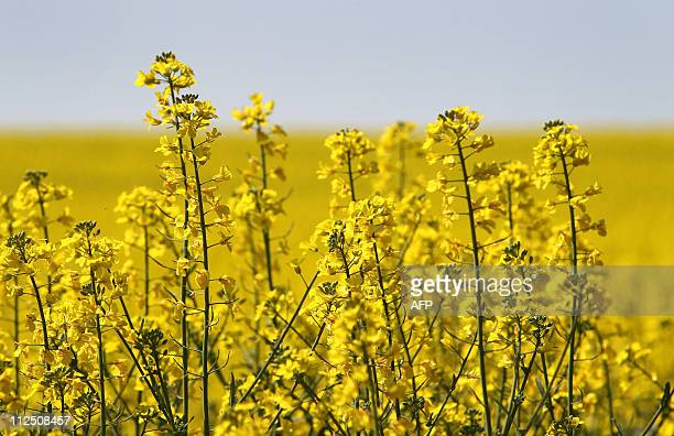 The sun shines down on a field of canola plants in Gaiberg near Heidelberg southwestern Germany on April 19 2011 Temperatures in Germany continue to...