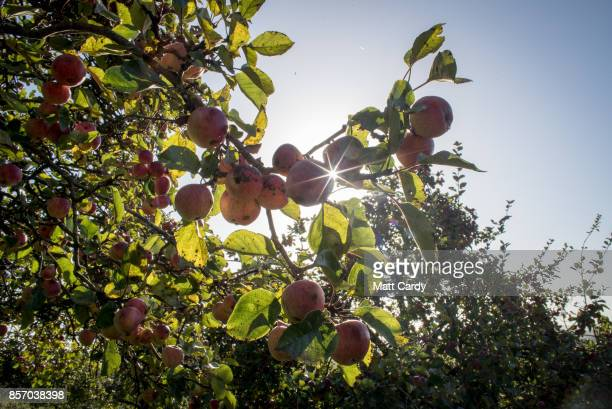 The sun shines on apples growing in an orchard at Wilkins Cider Farm at Lands End farm in the village of Mudgley on October 3, 2017 in Somerset,...