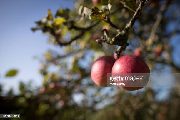 The sun shines on apples growing in an orchard at Wilkins Cider Farm at Lands End farm in the village of Mudgley on October 3 2017 in Somerset...