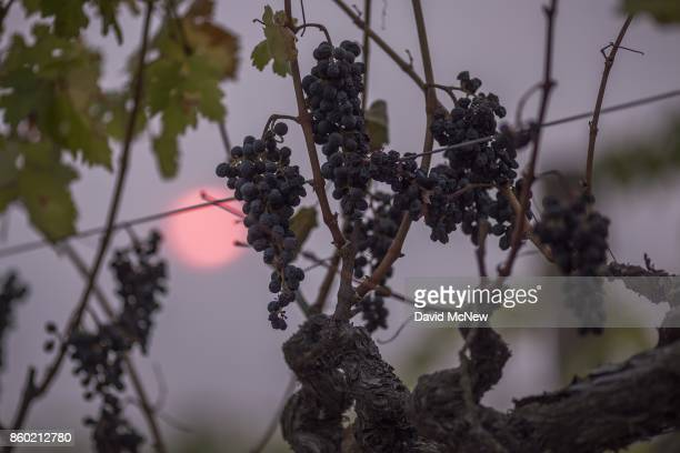 The sun shines through smoke from the Atlas Fire behind grape vines on October 11, 2017 near Napa, California. In one of the worst wildfires in state...