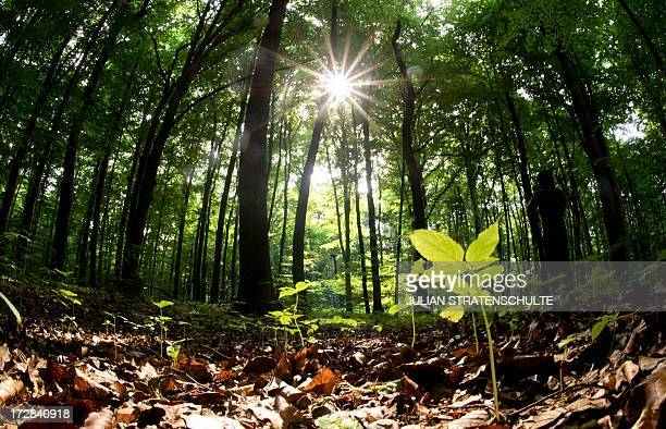 The sun shines through the canopy of leaves of beech trees grow in a forest south of Hanover northern Germany on July 2 2013 AFP PHOTO / DPA / JULIAN...