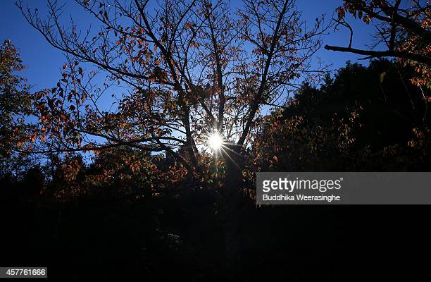 The sun shines through trees that are showing their autumn colours on October 24 2014 in Asago Japan According to Japanese weather forecasting...