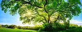 The sun shining through a majestic oak tree
