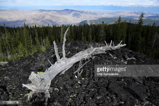 The sunbleached skeleton of longdead whitebark pine tree trunk stands at the top of a 7200foothigh ridge along the Reservation Divide September 14...