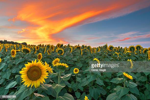 the sunflower state - kansas kansas state stock pictures, royalty-free photos & images