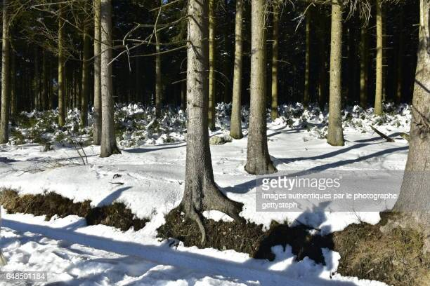 The sunlight on snow in coniferous forest