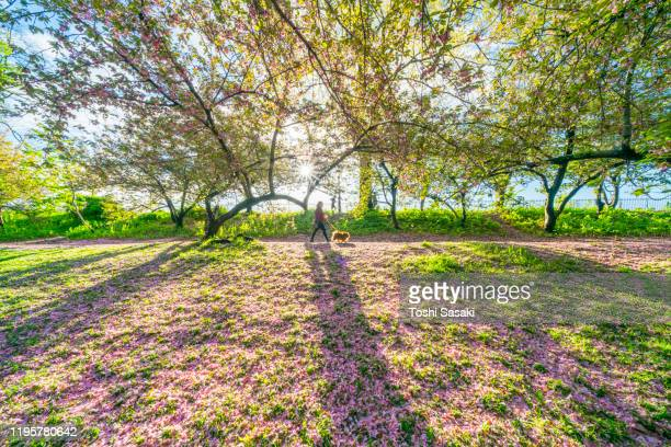the sunrise light illuminates the myriad of fallen cherry petals on the lawn beside the central park reservoir in central park new york city ny usa on may 06 2019. - central park reservoir stock pictures, royalty-free photos & images
