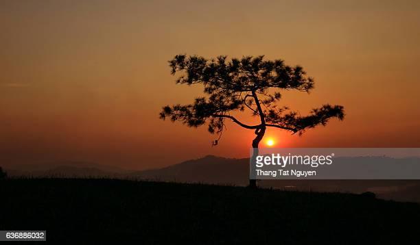 The sunset pine tree