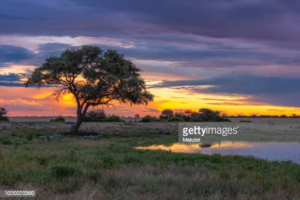 the sunset scene in savannah safari field of africa - semiarid stock-fotos und bilder