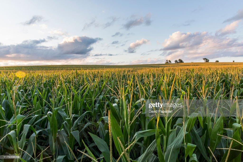 The sunsets over cornfields : Stockfoto