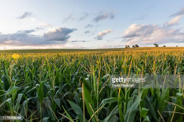 the sunsets over cornfields - campo foto e immagini stock