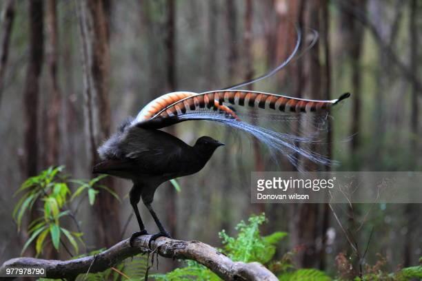 The Superb Lyrebird'