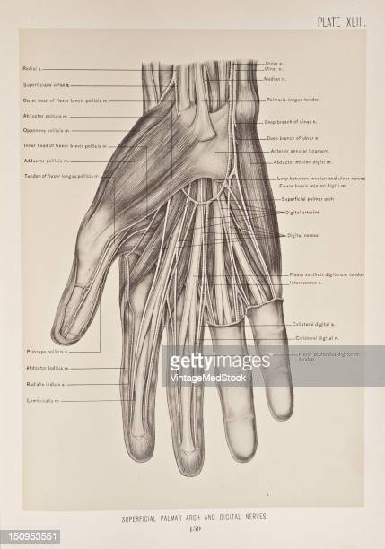 The superficial palmar arch is formed by the terminal part of the ulnar artery and is completed by the superficials volae or a branch from the...
