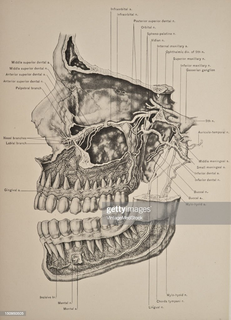 Superior Inferior Maxillary Nerves Pictures Getty Images