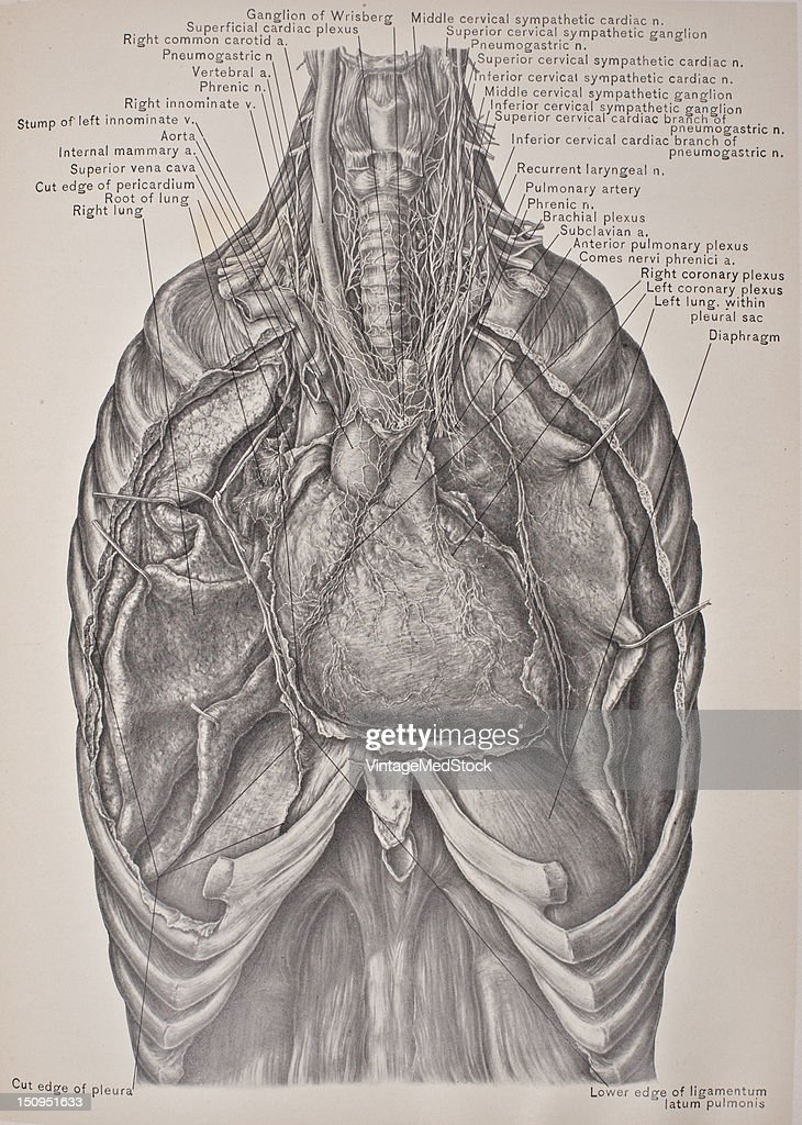 Structures In The Superior Mediastinum The Heart Lungs Pictures